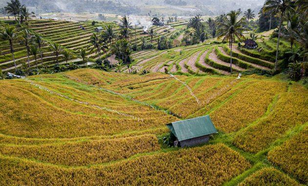 Sawah di Bali